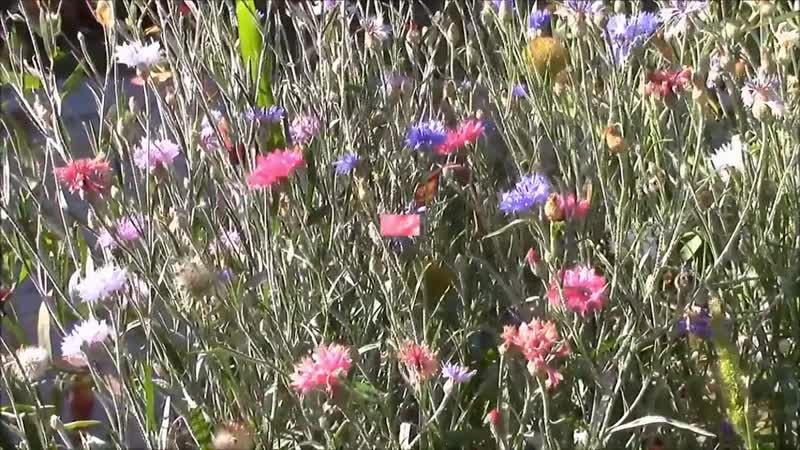 Trayf Toren - Cornflower Madness