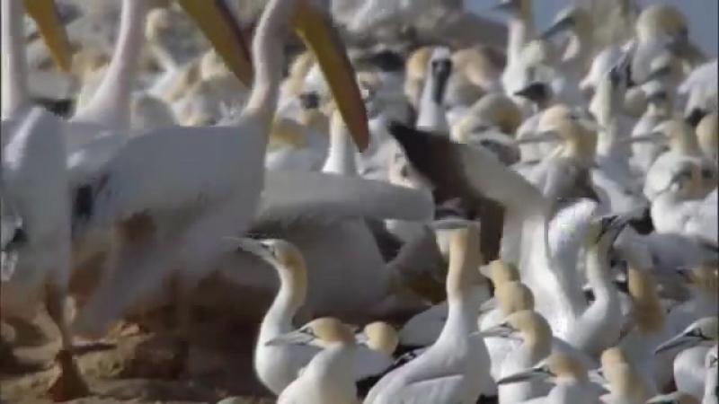 Как папа с мамой ушли Маленькиё олуш один остался Злой пеликан сожрал олушёнка.