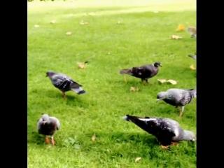 Из инста Бергюзар: Bizim parklarımız gibi..Tüm canlılar özgür.. #london