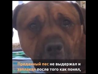 Преданный пес не выдержал и заплакал