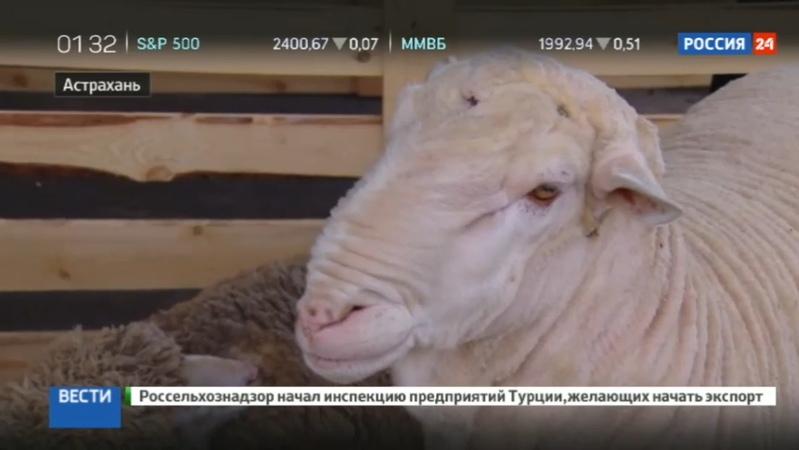 Новости на Россия 24 • Российские животноводы собрались под Астраханью на выставку овец и коз