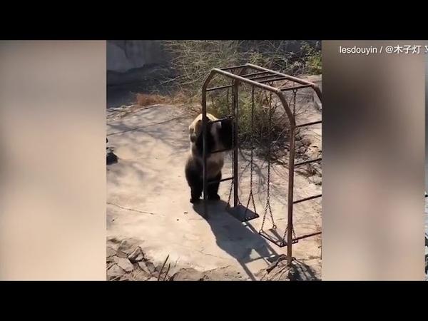Медведь пищухоед пустился в пляс в честь теплой погоды и попал на видео