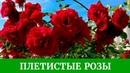 Плетистые розы Обзор сортов Полька Цезарь Айсберг Дон Жуан и другие розы