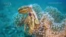 MOTOTI OCTOPUS | Octopus mototi