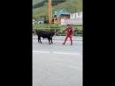 Тренеры Коми по лыжным гонкам настолько суровы, что не упускают возможности потренировать и быков! -D