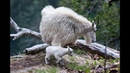 Day old baby mountain goat Mt Baker National Forest 6 2 2013