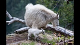 Day old baby mountain goat - Mt Baker National Forest - 622013