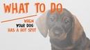 Что делать если у вашей собаки на коже появился мокнущий участок розоватого цвета What To Do When Your Dog Has A Hot Spot