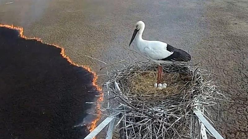 Само спокойствие аист не покинул гнездо, несмотря на пожар