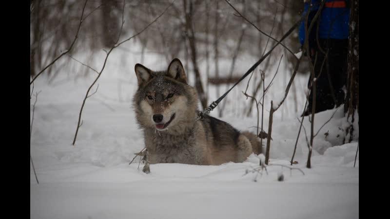 Зима близко - Winter is near (по мотивам Игра престолов. Зима лес