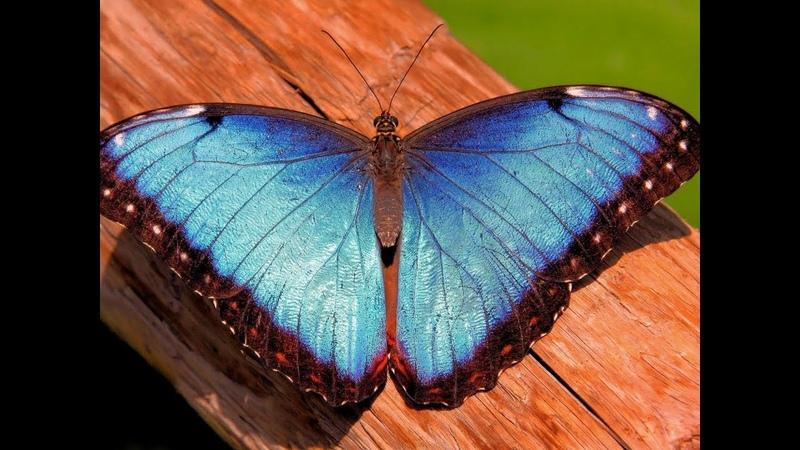 Бабочка Голубая Морфа