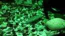 Аквариумные рыбки сомик кардинал гупи меченосец