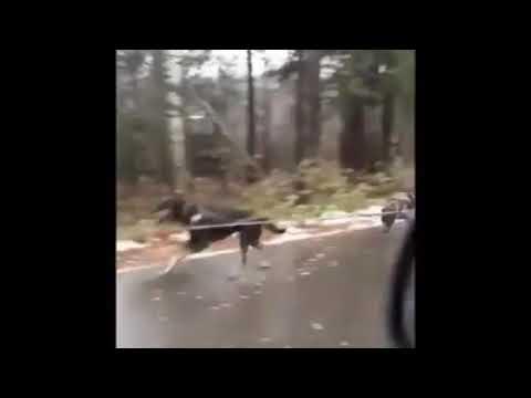 Собаки запряженные вместе тащат машину ниву