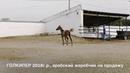 Продажа лошадей конефермы Эквилайн тел WhatsApp 79883400208 ГОЛКИПЕР 2018г р