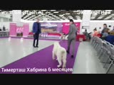14 октября 2018 Выставка собак г. Тюмень, эксперт Абракимов Ш.М.ТИМЕРТАШ ХАБРИНАдочь Леди и Нурика (Тимерташ Железная Леди * О