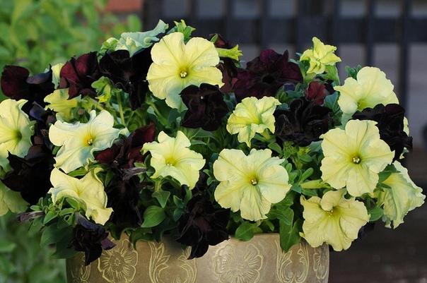 ПРИЩИПКА ПЕТУНИИ Для того чтобы получить роскошные цветущие кусты, необходимо прищипывать петунию. В результате прищипки петуния начинает активно выпускать боковые побеги. Куст от этого выглядит