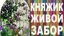 КНЯЖИК ЖИВОЙ ЗАБОР вертикальный сад от Nina Petrusha channel Clematis TV