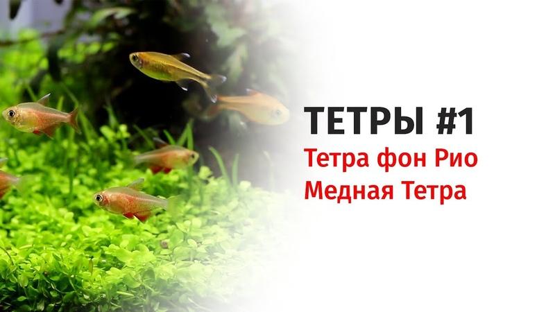 Тетры. Часть 1. Тетра фон Рио. Медная Тетра