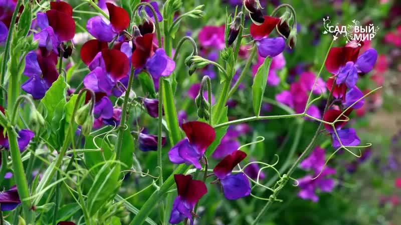 Как сеять душистый табак Ваш ароматный сад