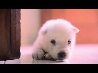 Блогер из Индонезии Нала Рейнальдо Массат назвал своего щенка сибирской хаски Читой