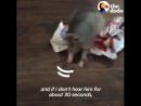 Этот броненосец весил меньше фунта когда его спасли но он вырос в маленького дикого человека который всегда пытается прыгнуть