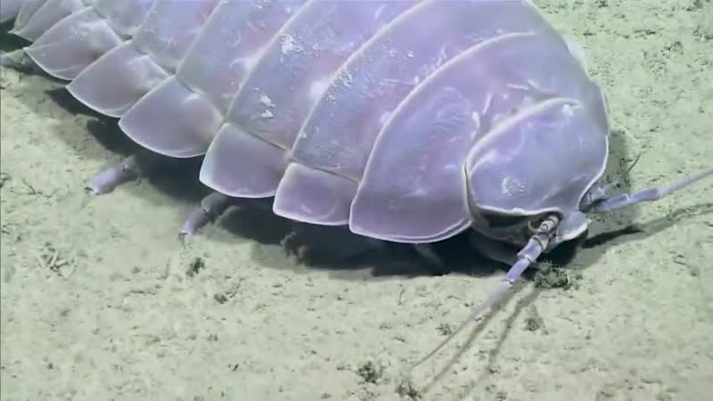 Giant Isopod_ Gulf of Mexico 2017