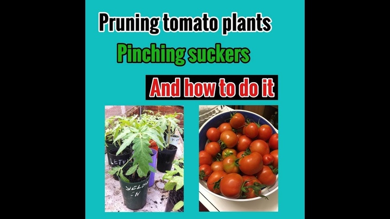 Pruning tomato plants pinching suckers and how to do it.