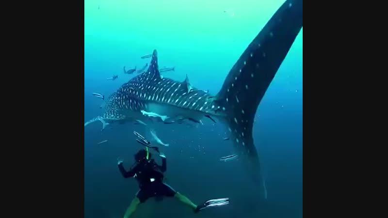 КИТОВАЯ АКУЛА - самая большая рыба мирового океана...😍 😍 😍