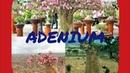 Удобрения для адениумов и уход за ними-по рекомендациям Elen S