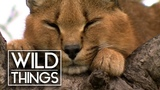 Top Cat Caracal Documentary Wild Things