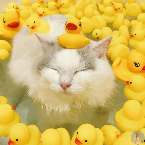 Ничего особенного. Просто кот с уточками в ванной!