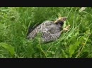 2yxa ru Spyashhaya kurica Slepping chiken spnco2bQZ 0
