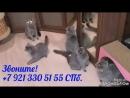 Британские котята- светлячки. Plush Blue Ray, 7 921 330 51 55, SPb.
