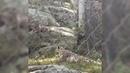 Baby snow leopard scares mom
