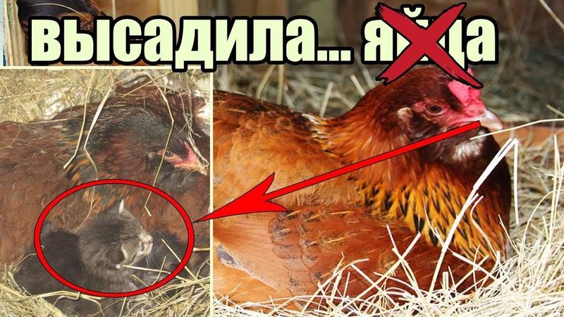 Удивительная история Как Курочка Высиживала Котят [Чудеса в природе: Курица и Котята]