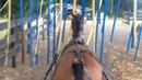 Приучение к раздражителям упряжных лошадей