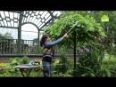 Стрижка растений с плакучей кроной