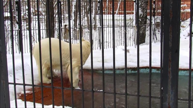 Белый медведь Ростик развлекается с шиной 27 11 18 г