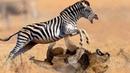 Zebra Vs Lion - Lion Hunting Fail - King Of Jungle Fail