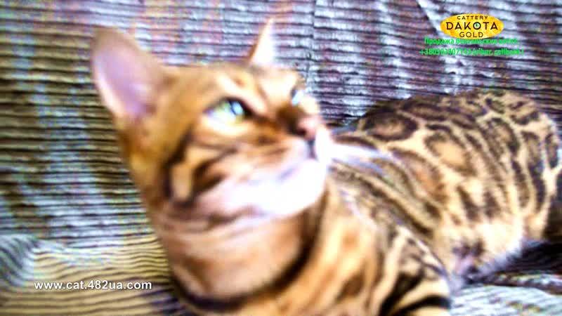Boy 4 Black, Dakota Gold, bengal cat, cattery, kitten, 23122018