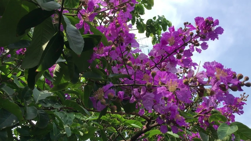 Wah Ada Bunga SAKURA yang sedang mekar, Lebih Cantik dari Tabebuya