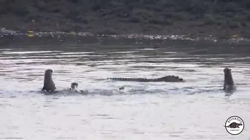 Взаимодействие гладкошёрстных выдр и бесхвостого гребнистого крокодила (1)