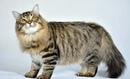 Сибирская и голубая русская кошки не отличаются короткой шерстью.