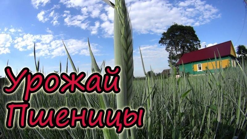 Уборка пшеницы Урожай 2018 Выгодно ли выращивать Наш опыт Белорусская деревня