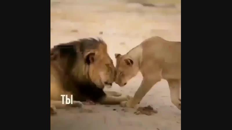 бык и лев .