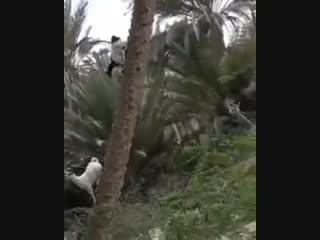 Ничего необычного, просто коза спускается с пальмы...