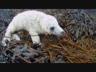 Знакомство тюлененка с человеком
