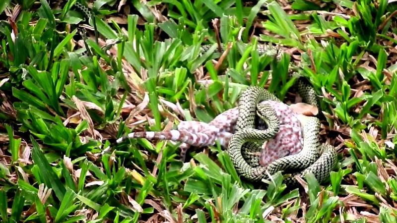 Золотая древесная змея против геккона токи
