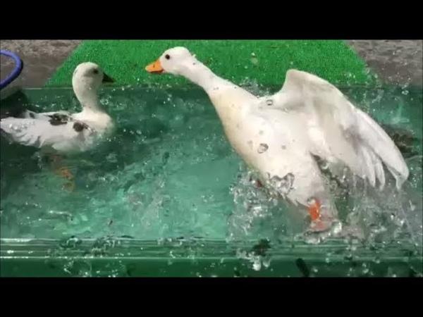 【コールダック】モコちゃんの凄すぎる潜水