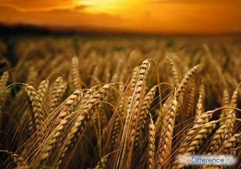 Разница между ячменем и пшеницей